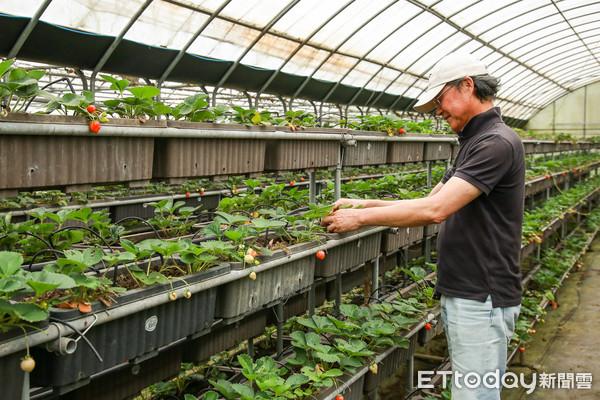 目前已進入第4期花,預計農場的草莓季可延續至6月