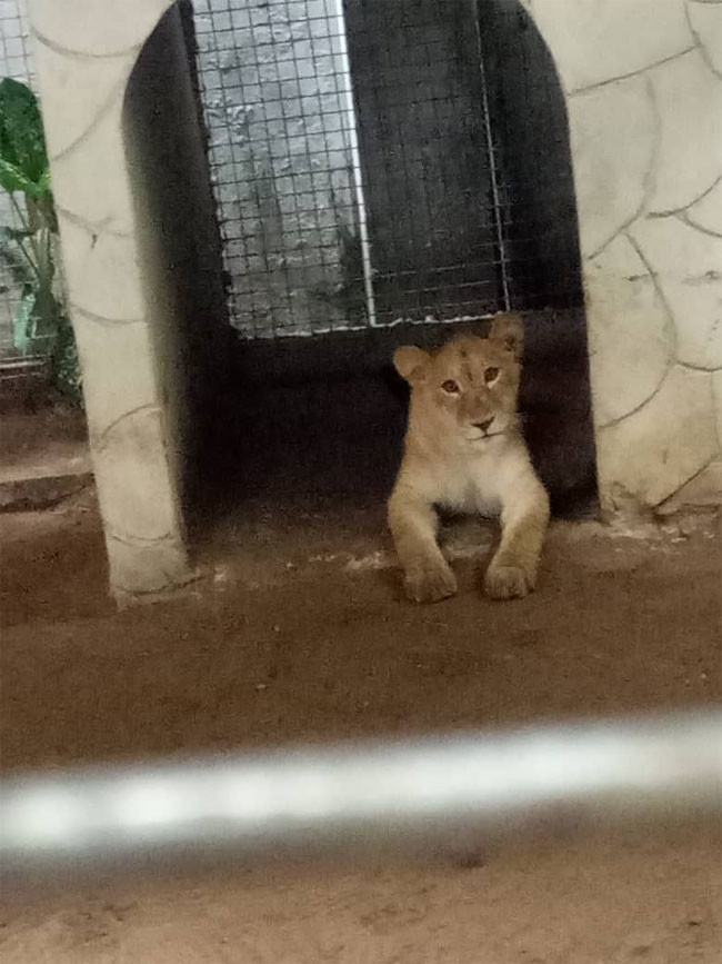 Lion found living in a house in Lagos