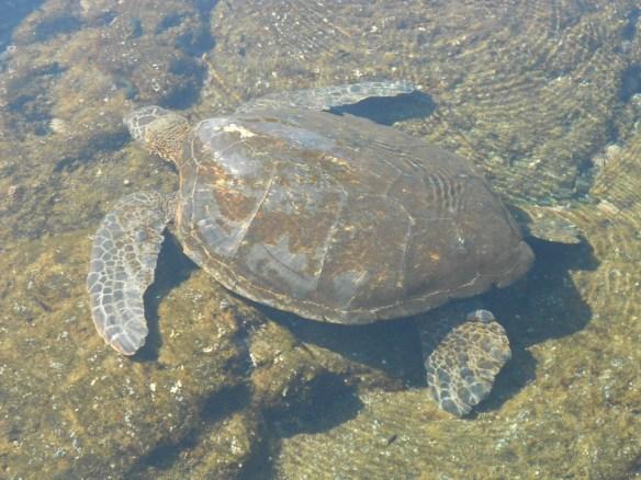 sea turtle coming