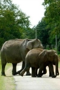 Elephant – The gentle giant