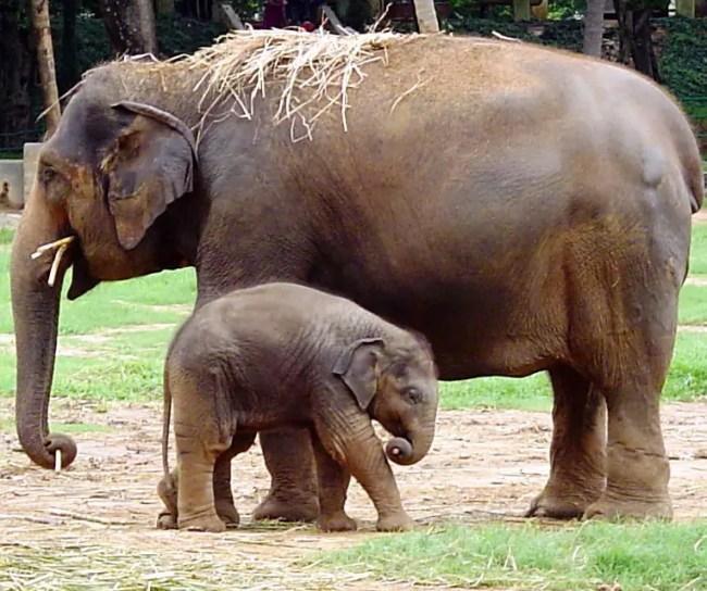 Mysore Elephant
