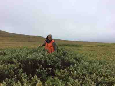 Bjorn - the tallest shrub on Qikiqtaruk-Herschel Island.