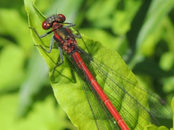 15 rote Libelle