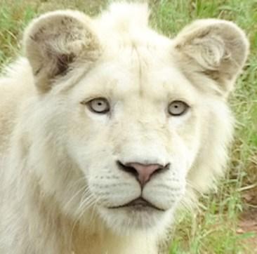White Lions3