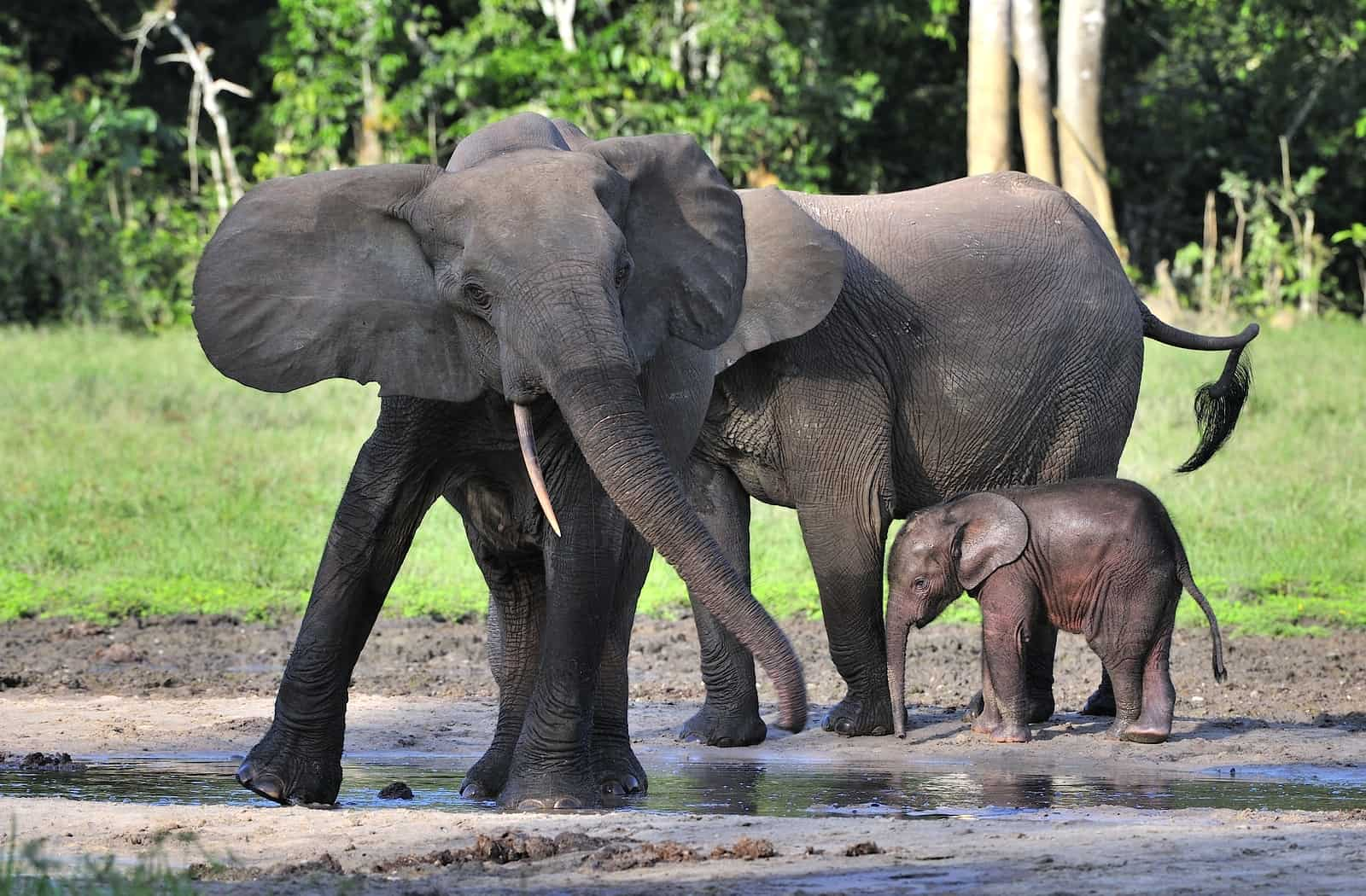 """1 appearance 2 information 2.1 in the real world 3 in """"the wild thornberrys"""" African Forest Elephants Blog In2english"""