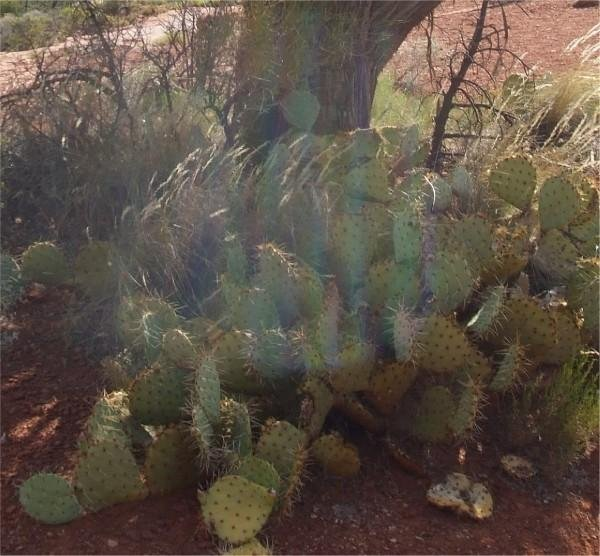 swirling vortex over some cactus in front of a juniper tree at Boynton Canyon