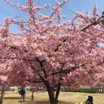 一足先に咲く河津桜
