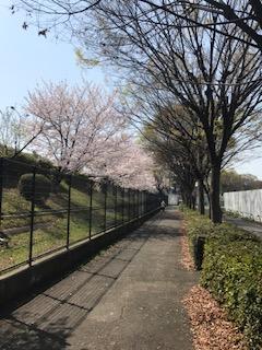 柴島浄水場の桜