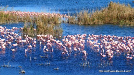 Lesser Flamingos at Kamfer Dam