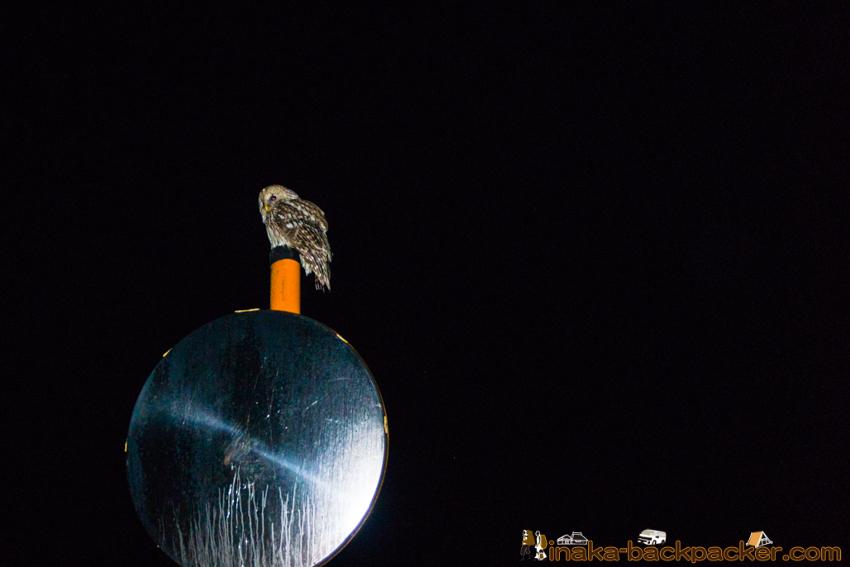 田舎 穴水町 フクロウ owl in countryside Japan