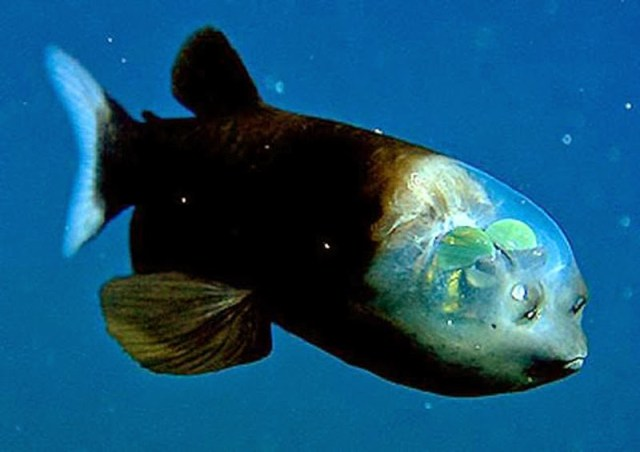 barreleye-ps