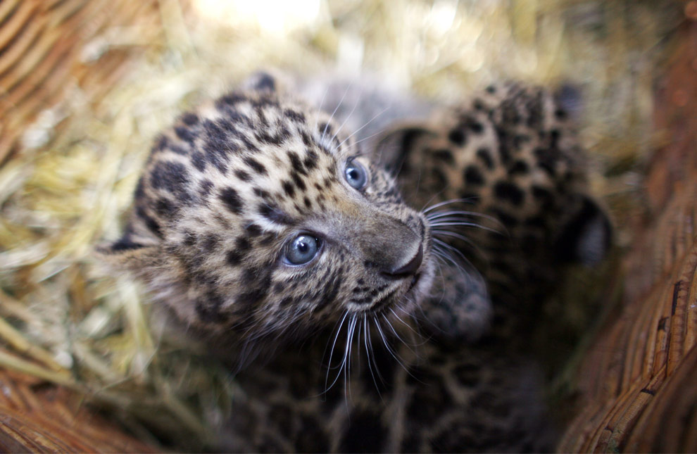North Chinese leopard cub in Hamburg @ The Big Picture