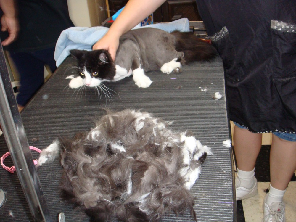 The cat needed shaved (2/4)