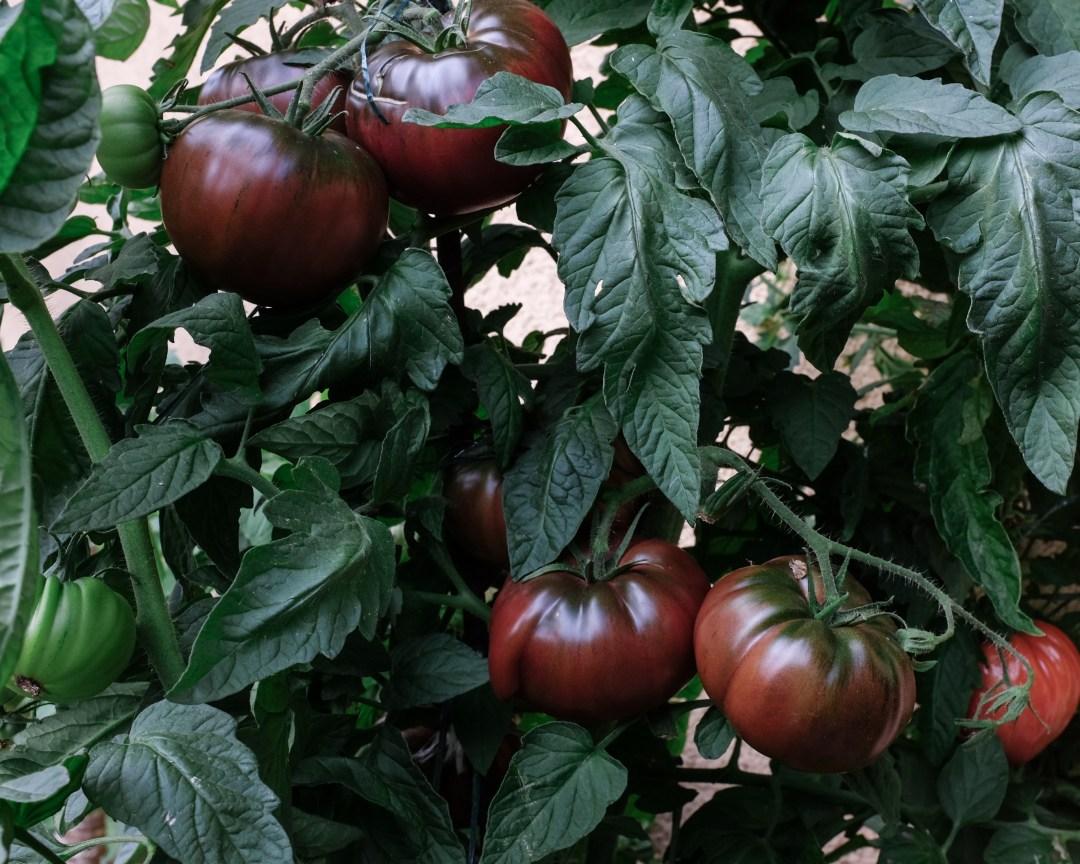 inastil, tomaten, feigen, mein Garten, erste Ernte, Gartenfrüchte, Sommerabend, Nektarinenkuchn, Sommerzeit, Ü50Blogger, Rezept-2