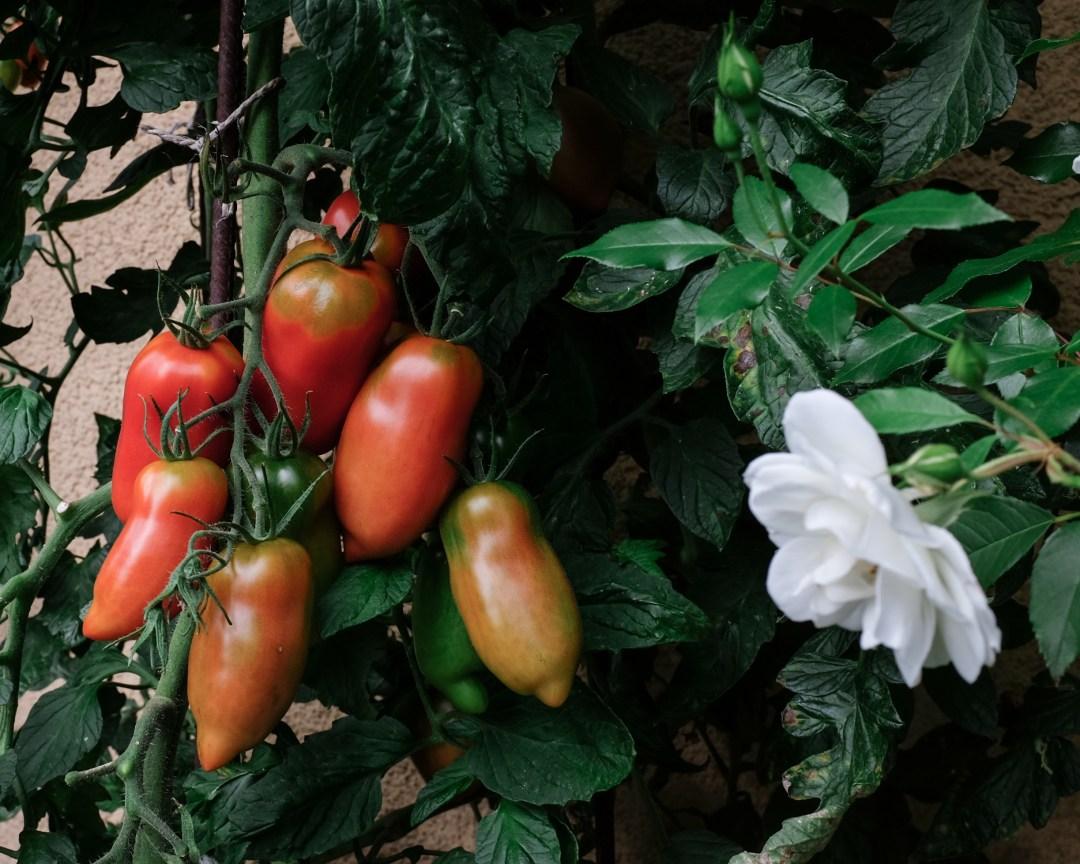 inastil, tomaten, feigen, mein Garten, erste Ernte, Gartenfrüchte, Sommerabend, Nektarinenkuchn, Sommerzeit, Ü50Blogger, Rezept-3
