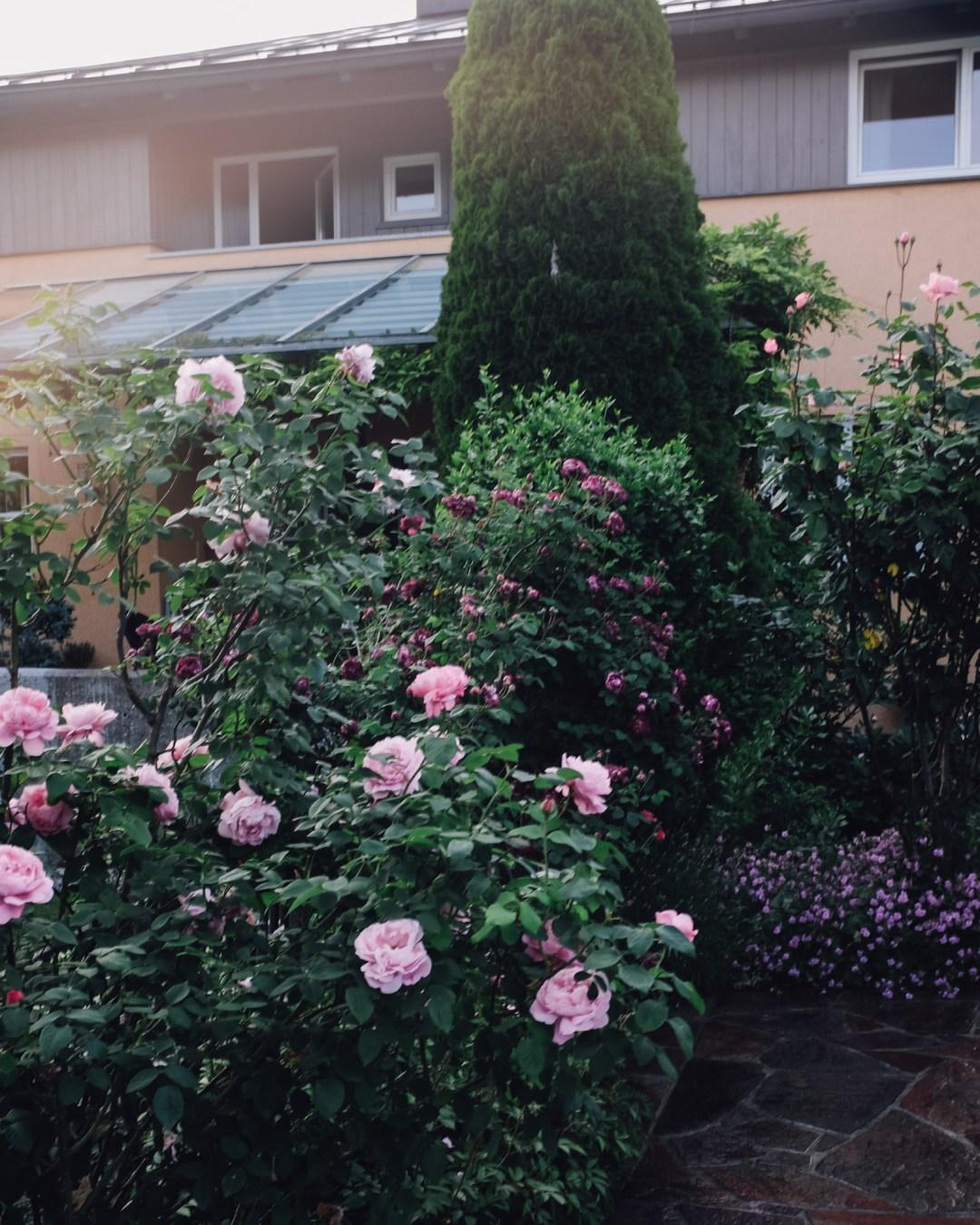 inastil, over50blogger, rosen, historische rosen, garten, sommergarten, rosengarten, gartenliebe, holler, holunder, holundersirsup, hugo, sommerabend, rosenliebe, haus und garten, rosenstrauß-9