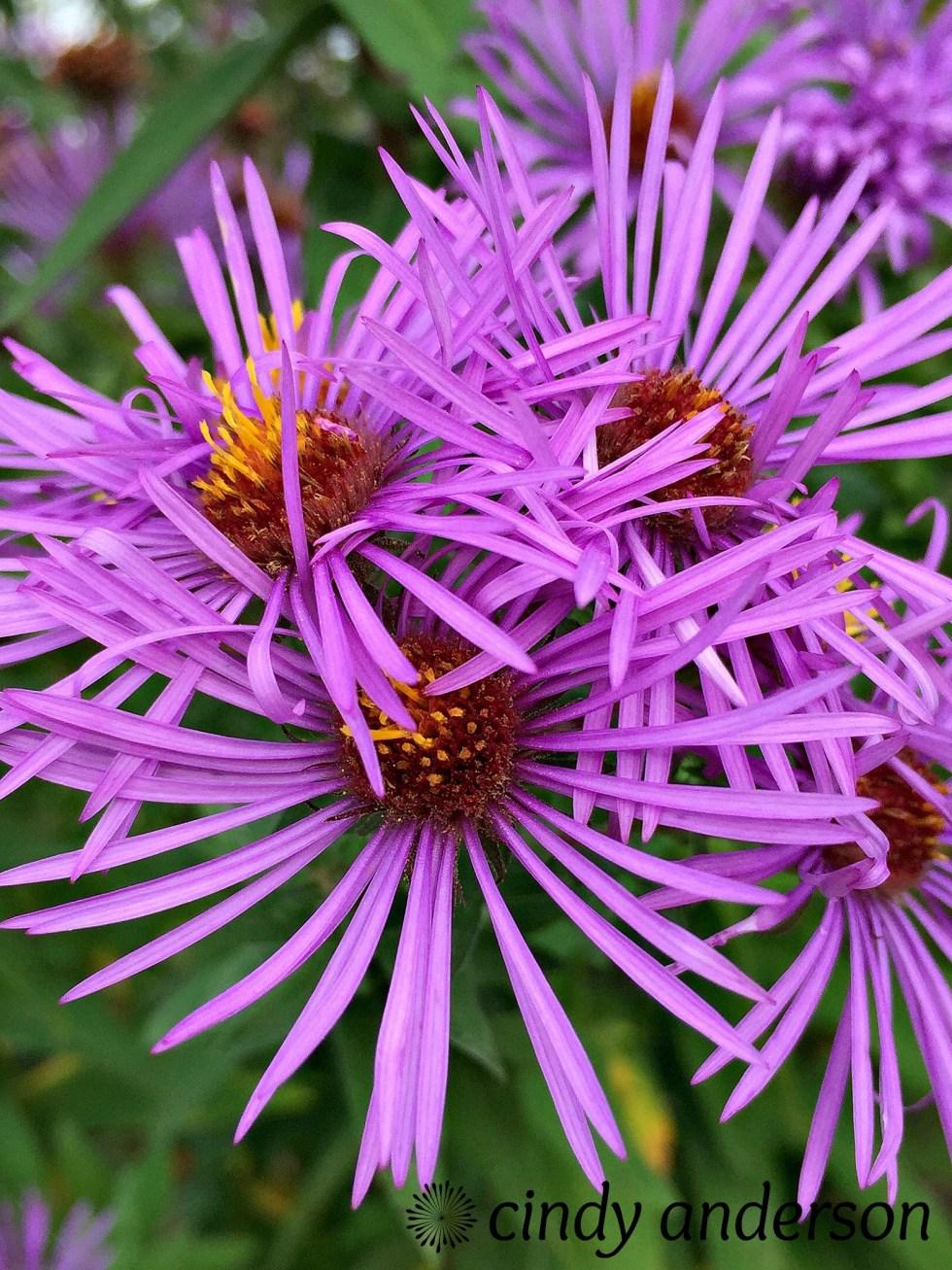 purple_majesty
