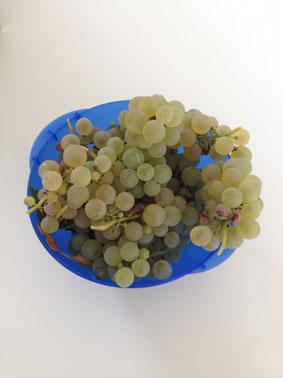 Weintraubenernte - noch schnell vor den Wespen gerettet