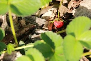 Die großen Erdbeeren brauchen noch ein wenig