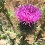 Love Your Liver with Milk Thistle
