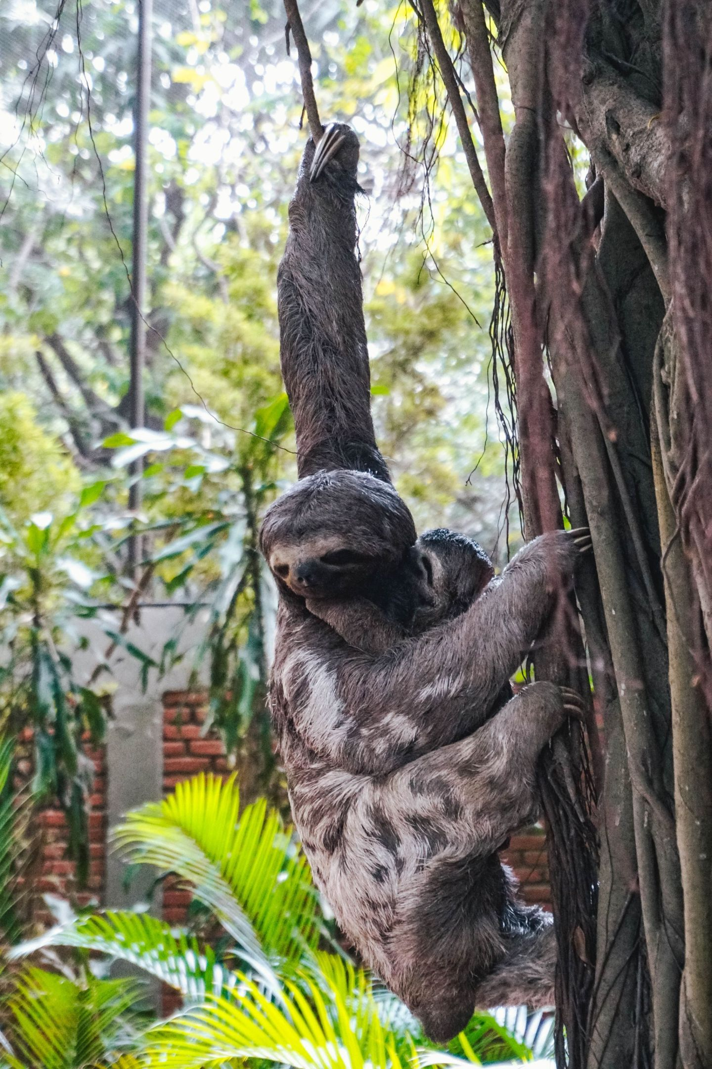 Spotting Sloths in Santa Cruz de la Sierra Bolivia