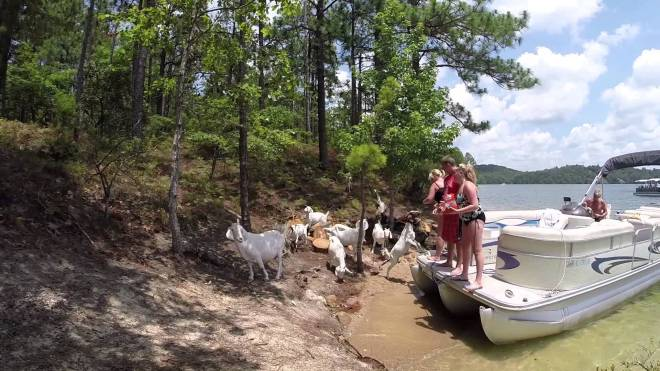 goats at lake sinclair