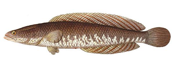 gambar ikan haruan