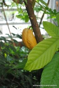 Kakaofrucht im Gewächshaus