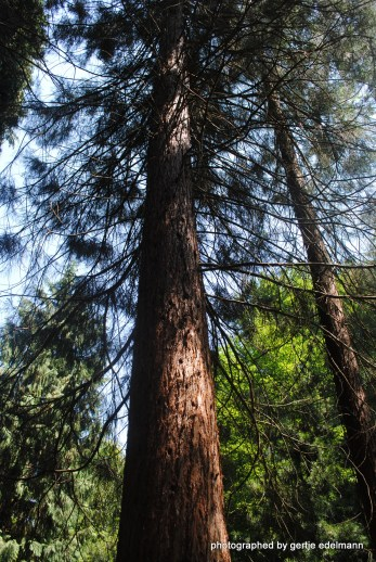 Junger Mammutbaum (200 Jahre alt)