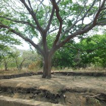 Guanacaste trees are an iconic symbol of Central America