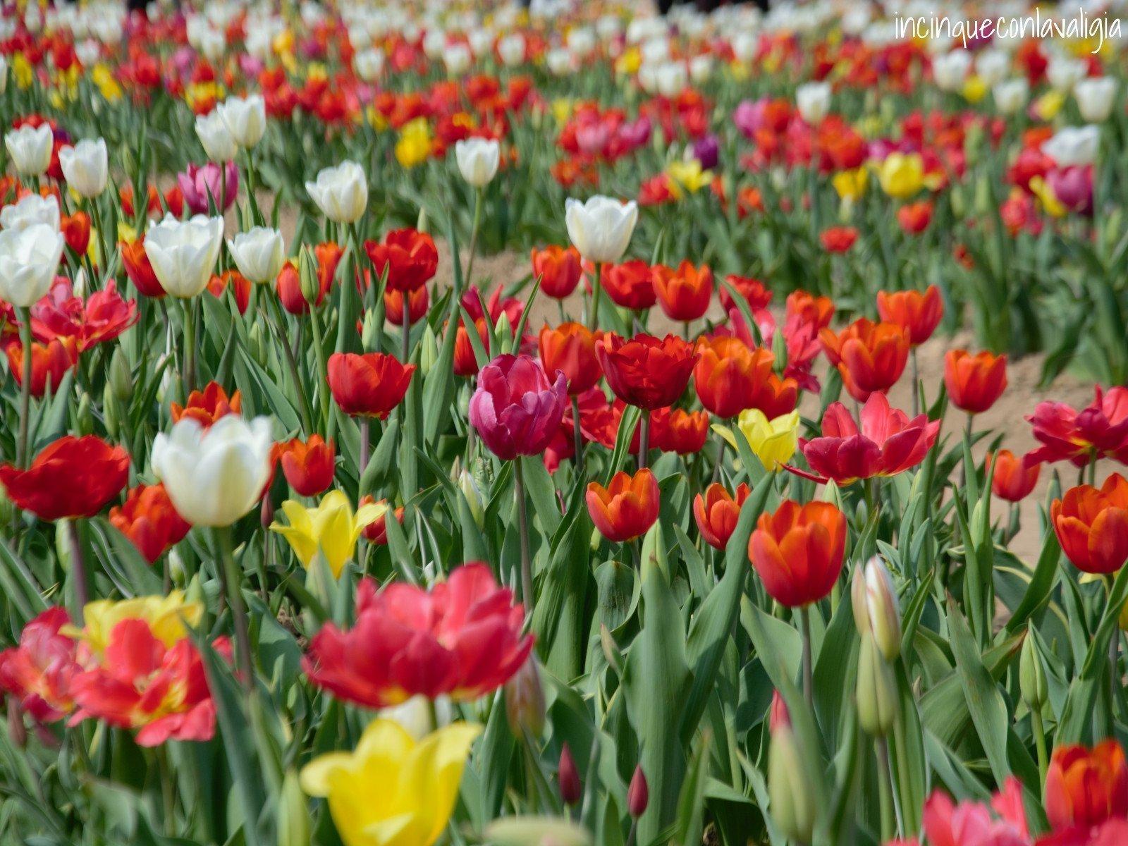 Tulipani in lombardia un pezzo di olanda dietro casa for Tulipani italiani