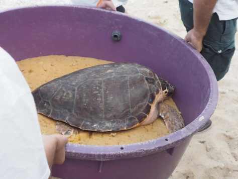 Rilascio delle tartarughe nel Conero