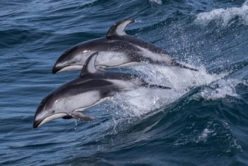 Pacific White-Nosed Dolphins