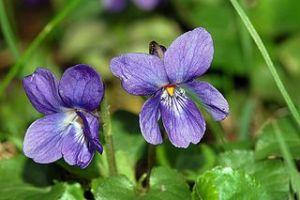 Spring_Viola_odorata