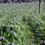 How To Start Cassava Farming In Nigeria