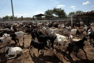How To Start Lucrative Goat Farming In Nigeria