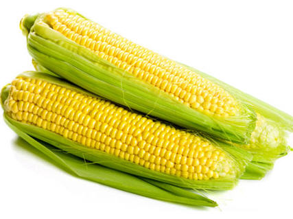 How to Cultivate Hybrid Maize in Nigeria