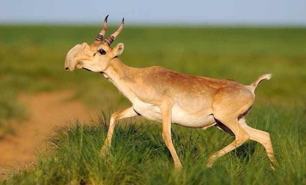 Creaturi ciudate - antilopa Saiga