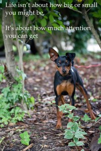 Miniature Pinscher, Facebook Diva, attention, azalea, bush, ground, size, outside