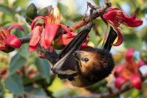 Many bats feed on nectar from various flowers and some do get rather tipsy on the aromatic alcohols contained in them.