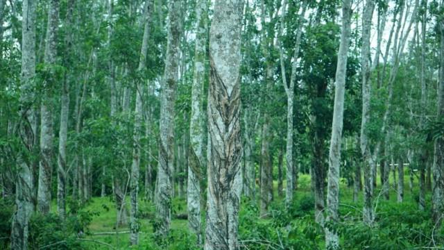 gumifa-malajzia-langkawi