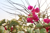 Bougainvillea - Against tree branches