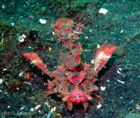 Devil scorpionfish