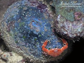 Crab - Raja Ampat
