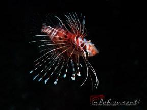 Upside down Lionfish