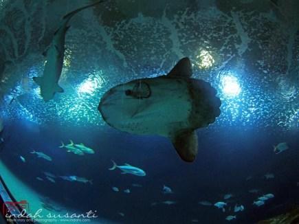 Mola-mola fish