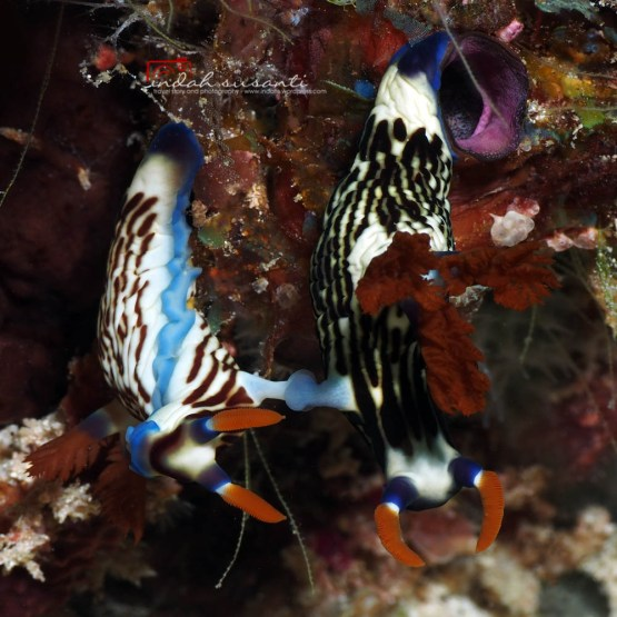 Mating Nudibranch