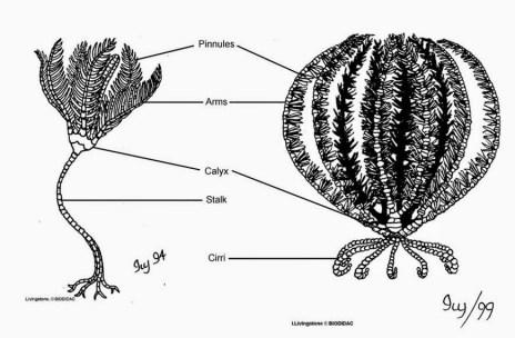 Parts of Crinoid