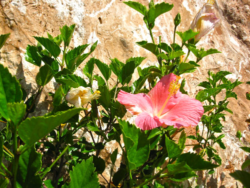 Mojacar hibiscus for Mother
