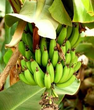 images/sampledata/fruitshop/bananas_2.jpg
